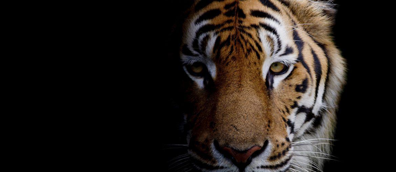 Riding the Tiger: Indien verstehen für IT Offshoring